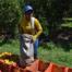 Oranger harvester. Photo by Maria Moraes (2017)